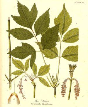Érable negundo - Planche botanique