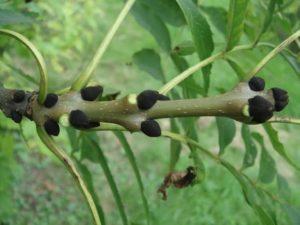 Bourgeons de frêne commun