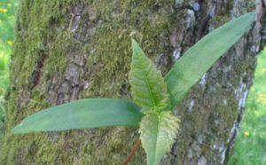 Plantule d'érable sycomore