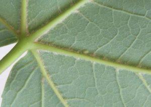 Feuille d'érable sycomore (face inférieure)