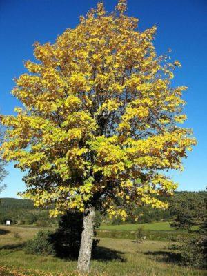 Érable sycomore en automne