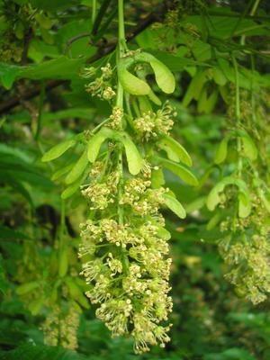 Grappe de fleurs d'érable sycomore