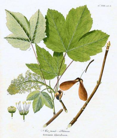 Érable sycomore - Planche botanique