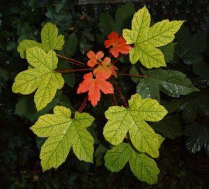 Érable sycomore en automneÉrable sycomore au printemps