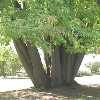 Tronc en buisson d'érable sycomore